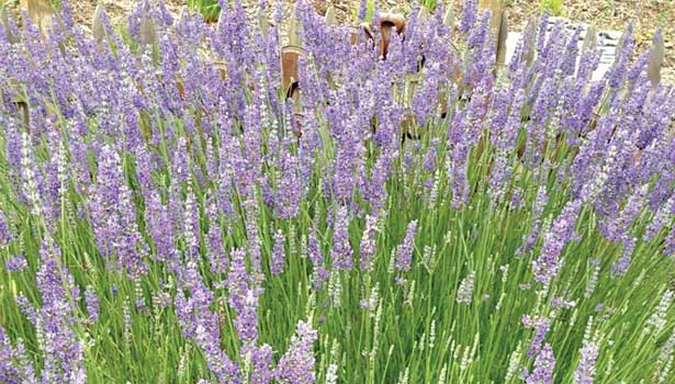 Snoqualmie grows lavender on the farm behind the production plan